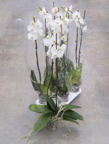 Phalaenopsis tsarine 4/tray, 2-Tak grandiflora wit, H: 100cm, B: 25cm, potmaat: 15cm