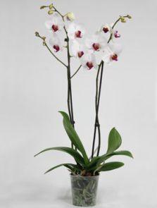 Phalaenopsis red lip 6/tray, 2-Tak 18+ wit-rood, H: 65cm, B: 20cm, potmaat: 12cm