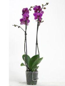 Phalaenopsis judy diamond 10/tray, 2-Tak 18+ donker paars, H: 70cm, B: 25cm, potmaat: 12cm