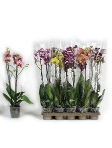 Phalaenopsis extra mix 10/tray, 2-Tak 14+, H: 65cm, B: 25cm, potmaat: 12cm