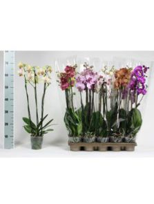 Phalaenopsis mix 10/tray, 3-Tak 18+, H: 60cm, B: 25cm, potmaat: 12cm