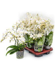Phalaenopsis multi soft cloud 6/tray, H: 45cm, B: 20cm, potmaat: 12cm