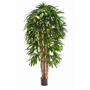 Rhapis Palm, 7 stammen, 270 cm - Uitlopend