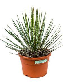 Agave filifera, Groen, H: 50cm, B: 40cm, potmaat: 27cm