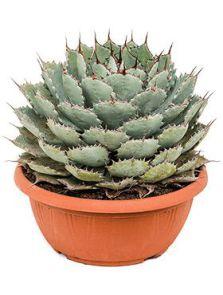 Agave potatorum compacta, Groen/grijs, H: 35cm, B: 30cm, potmaat: 29cm