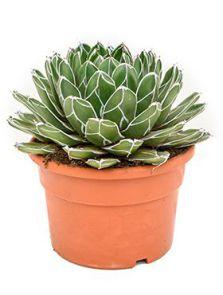 Agave victoriae-reginae, Groen, H: 40cm, B: 30cm, potmaat: 27cm