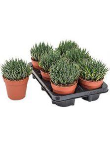 Aloe aristata 6/tray, H: 30cm, B: 20cm, potmaat: 12cm