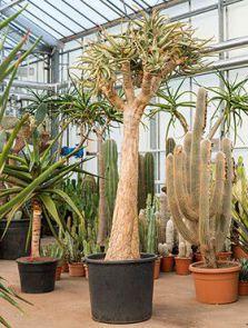 Aloe dichotoma, Stam vertakt, H: 275cm, B: 160cm, potmaat: 70cm