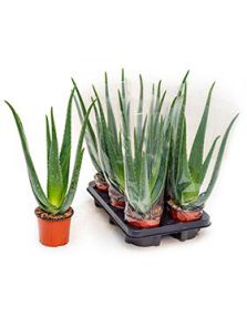 Aloe vera barbadensis 6/tray, H: 35cm, B: 20cm, potmaat: 12cm