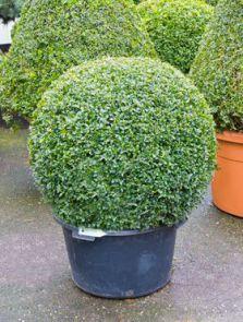 Buxus sempervirens, Bol (80+), H: 110cm, potmaat: 60cm