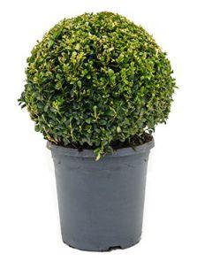 Buxus sempervirens, Bol (30+), H: 45cm, B: 30cm, potmaat: 23cm