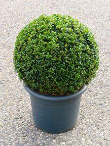 Buxus sempervirens, Bol (35+), H: 60cm, B: 35cm, potmaat: 33cm