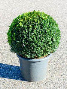 Buxus sempervirens, Bol (50+), H: 80cm, B: 50cm, potmaat: 40cm