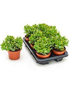 Crassula curly green 6/tray, Bush, H: 20cm, B: 15cm, potmaat: 12cm