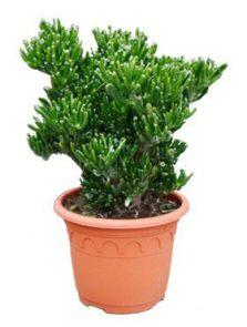 Crassula horntree, Bush, H: 60cm, potmaat: 30cm