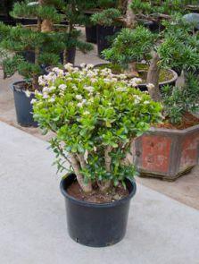 Crassula ovata, Bush, H: 90cm, B: 80cm, potmaat: 40cm