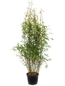 Fargesia murieliae jumbo, Bush, H: 120cm, B: 60cm, potmaat: 32cm