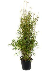Fargesia murieliae jumbo, Bush, H: 160cm, B: 65cm, potmaat: 40cm