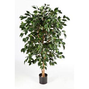 Ficus nitida exotica, H: 150cm