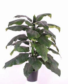 Spathiphyllum, 105 cm