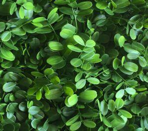 Ficus Microcarpa, B: 50 cm, L: 50cm, UV & Waterproof