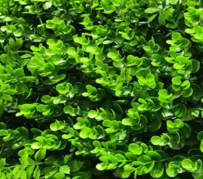 Buxus vegetatie Grof, B: 50 cm, L: 50 cm, UV & Waterproof