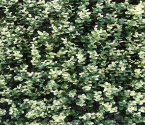 Buxus Sempervirens Grof Bont, B: 50 cm, L: 50cm, UV & Waterproof