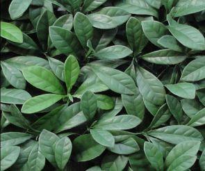 Laurier Prunus donker, B: 50cm, L: 50cm, UV & Waterproof